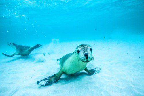 Sea Lions Western Australia